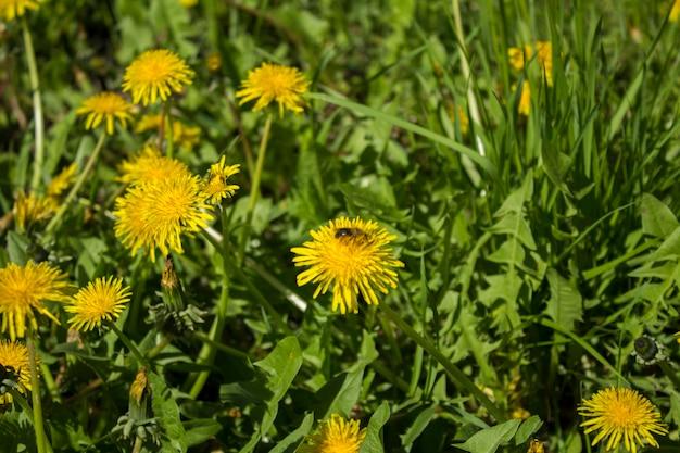 Żółte kwiaty mniszka lekarskiego. zbliżenie.