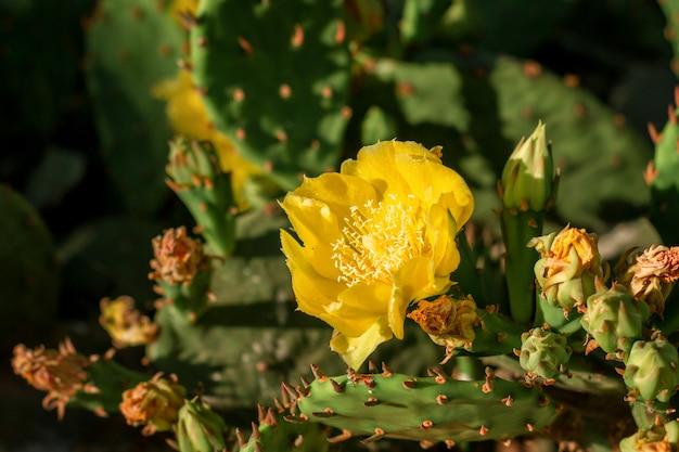 Żółte kwiaty na kaktusie kwitną jasnym kolorem