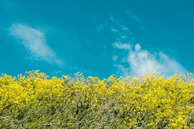 Żółte kwiaty na niebieskim tle nieba