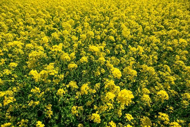 Żółte kwiaty na polu rzepaku latem