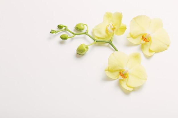 Żółte kwiaty orchidei