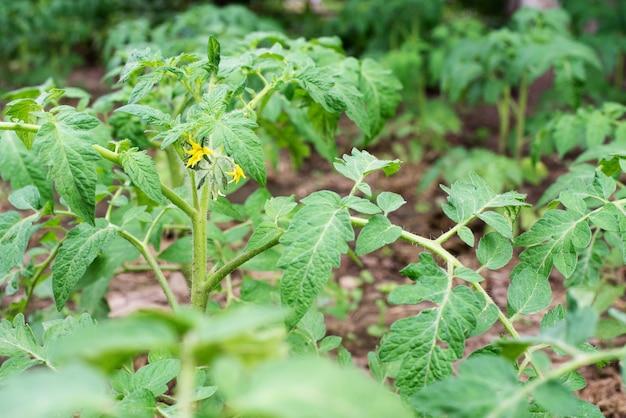 Żółte kwiaty pomidora, kwitnące pomidory w ogrodzie, uprawy warzyw na podwórku, z bliska.