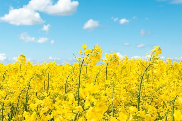 Żółte kwiaty rzepaku w polu i błękitne niebo