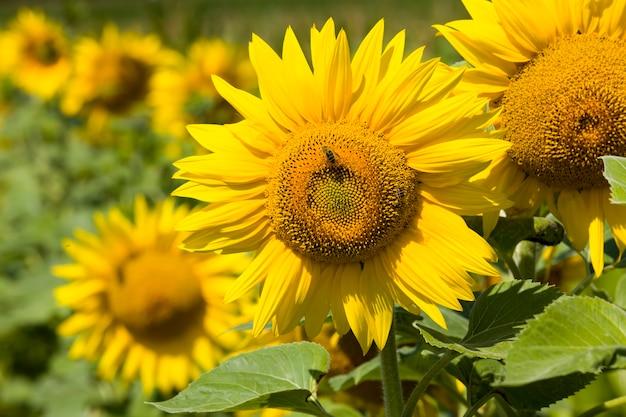 Żółte kwiaty słonecznika podczas zapylania