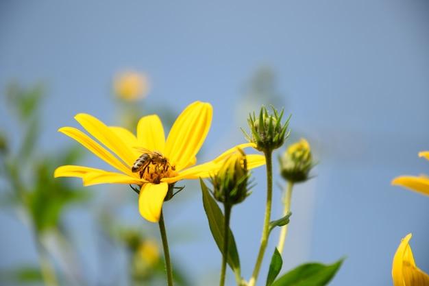 Żółte kwiaty topinamburu na tle błękitnego nieba na zewnątrz