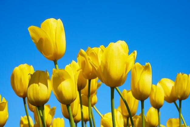 Żółte kwiaty tulipanów kwitnące w polu tulipanów przed ścianą błękitnego nieba.