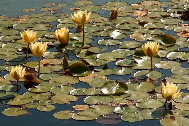 Żółte lilie wodne