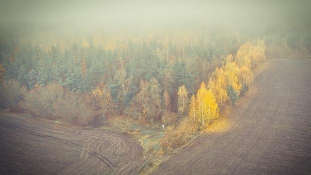 Żółte liście brzozy na skraju lasu sosnowego w jesienny poranek mglisty.
