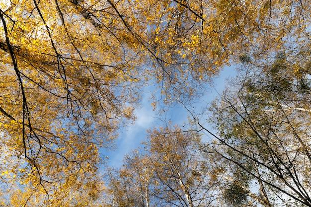 Żółte liście brzozy