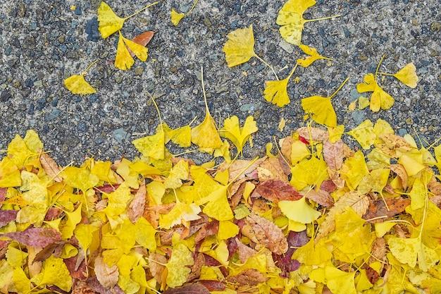 Żółte liście ginkgo biloba w ogrodzie