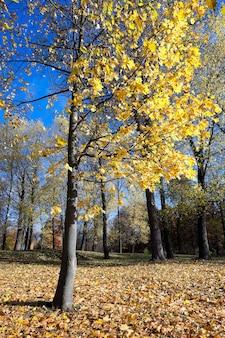 Żółte liście, jesień - zbliżenie na latające drzewo z żółtymi liśćmi w sezonie jesiennym, błękitne niebo