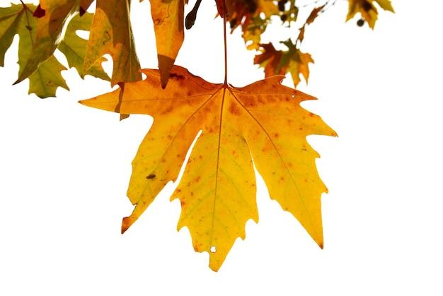 Żółte liście jesienią na białym tle.