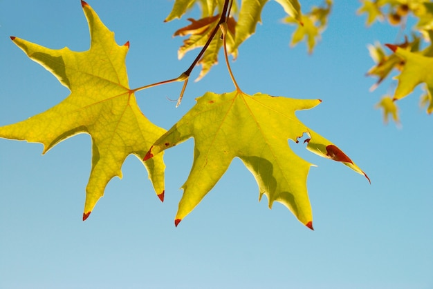 Żółte liście jesienią.