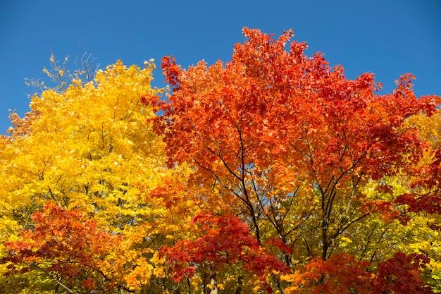 Żółte liście klonów
