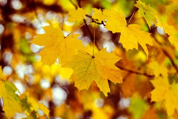 Żółte liście klonu na drzewie w jesiennym lesie