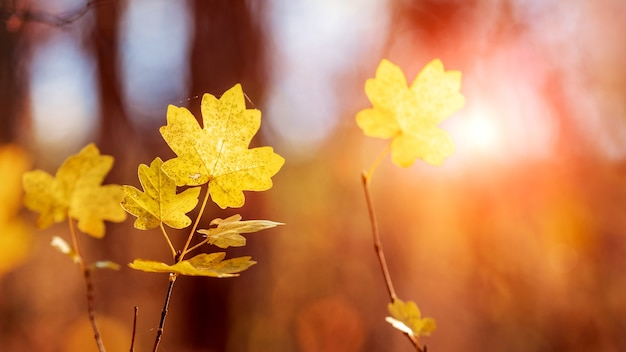 Żółte liście klonu na drzewie w lesie podczas zachodu słońca w ciepłych jesiennych odcieniach