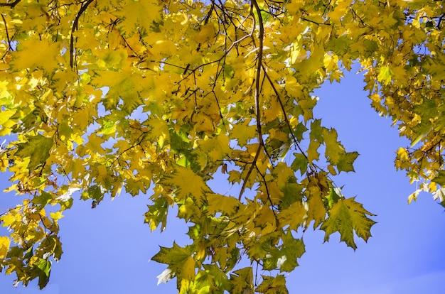 Żółte liście klonu na gałęzi na tle błękitnego nieba