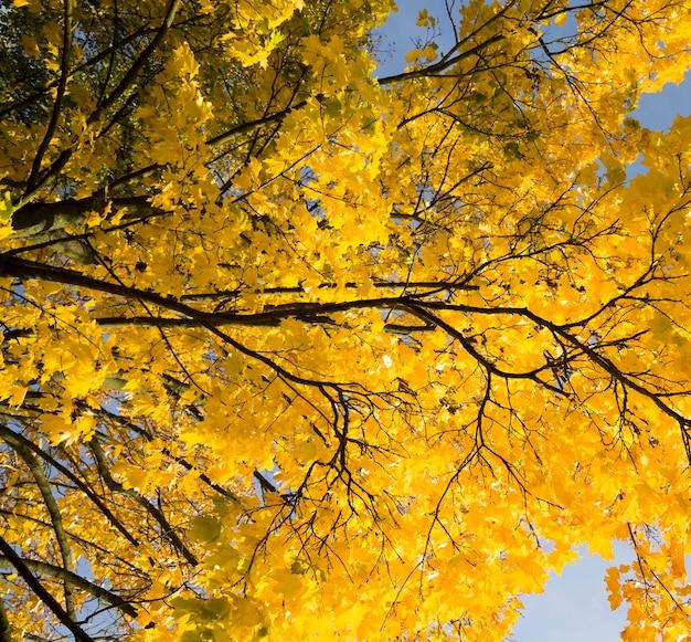 Żółte liście klonu na gałęziach