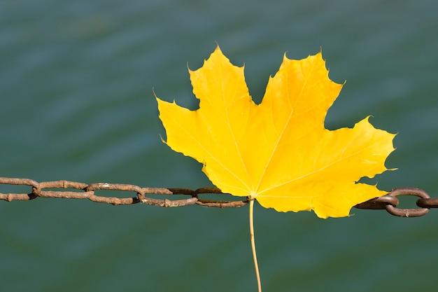 Żółte liście klonu na metalowym łańcuszku. jesienna koncepcja