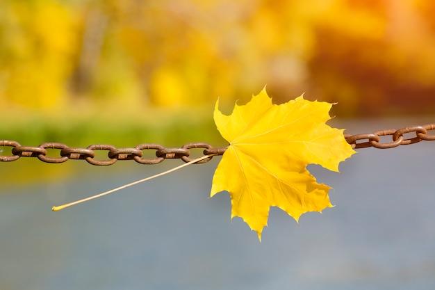 Żółte liście klonu na metalowym łańcuszku