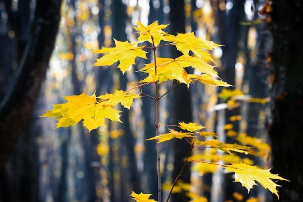 Żółte liście klonu na młodym drzewie w lesie na tle drzew