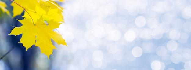 Żółte liście klonu na rozmytym tle z bokeh, kopia przestrzeń