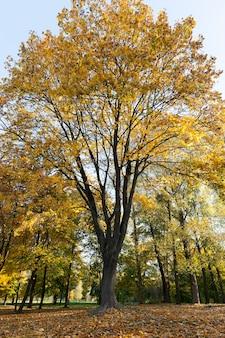 Żółte liście klonu podczas opadania liści. sezon jesienny