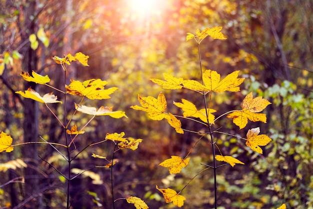 Żółte liście klonu w gęstym jesiennym lesie w wieczornym słońcu