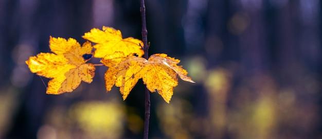 Żółte liście klonu w jesiennym ciemnym lesie