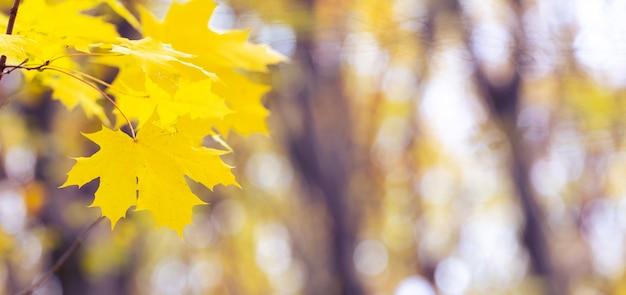 Żółte liście klonu w lesie na drzewie na jasnym rozmytym tle, panorama