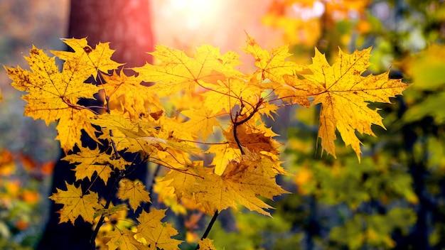 Żółte liście klonu w lesie na drzewie podczas zachodu słońca
