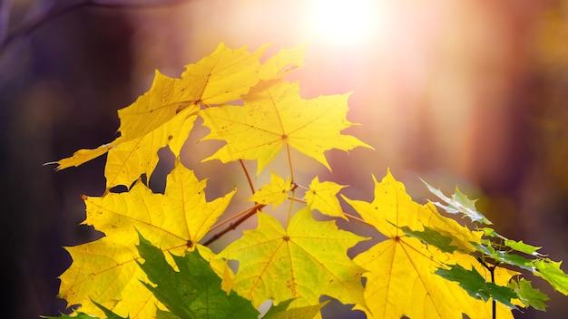 Żółte liście klonu w lesie na drzewie w ciemnym lesie przed słońcem