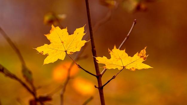 Żółte liście klonu w lesie na drzewie z bliska na rozmytym tle podczas zachodu słońca w ciepłych jesiennych kolorach