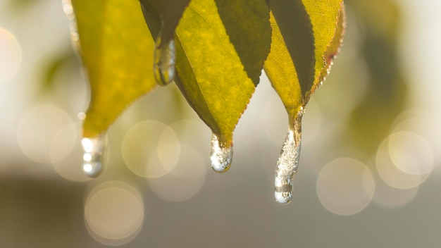 Żółte liście lipy z kroplami lodu na krawędziach i szronem