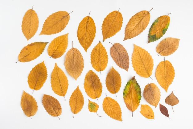 Żółte liście na białym tle