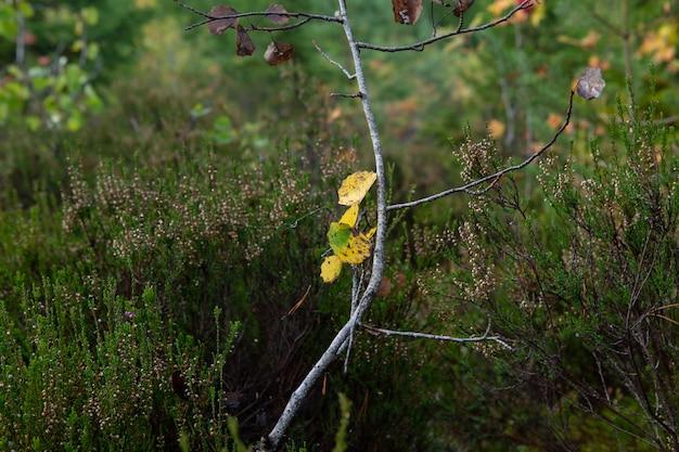 Żółte liście na cienkiej gałązce osiki wśród zielonego wrzosu