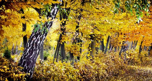 Żółte liście na drzewach jesienią słoneczny dzień. drzewa w parku jesienią