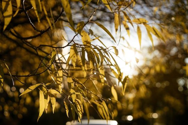 Żółte liście na drzewie w promieniach jesiennego słońca soft focus