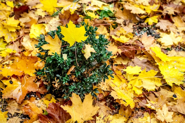 Żółte liście na ziemi parku. wzór liści jesienią