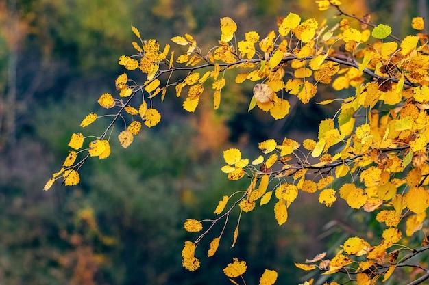 Żółte liście osiki na drzewie w jesiennym lesie