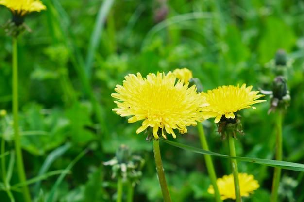 Żółte mlecze na łące w lecie, pole kwiatów natura tło