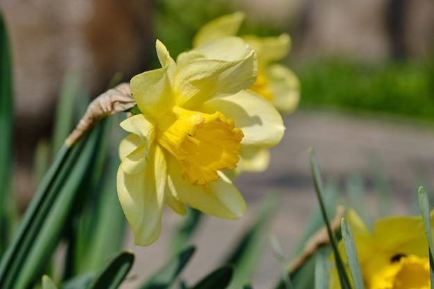 Żółte narcyzy na wiosnę z rozmytym tłem