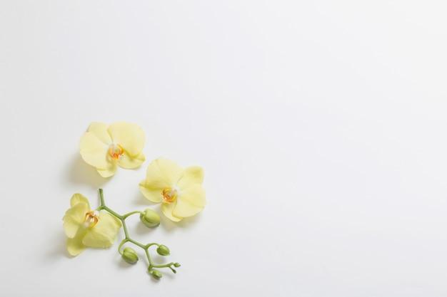 Żółte orchidee kwitną na białym tle