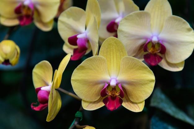Żółte orchidee
