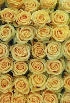 Żółte piękne róże