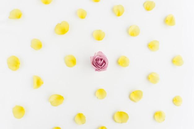 Żółte płatki i różowy kwiat na białym tle