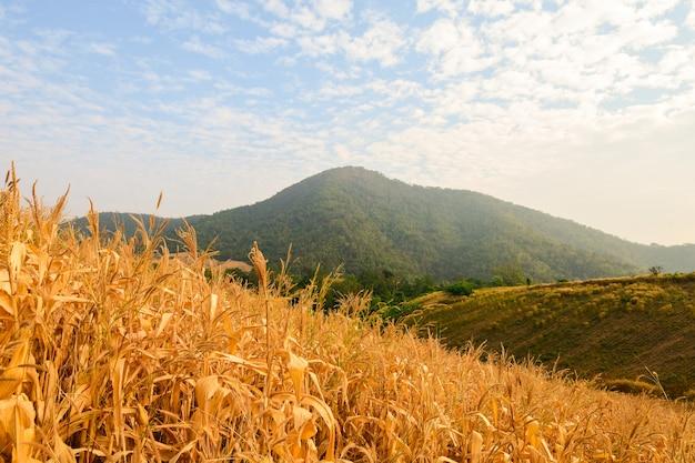 Żółte pole kukurydzy na środku doliny.