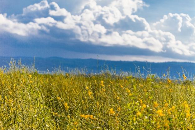Żółte pole pod błękitne niebo. tło natury