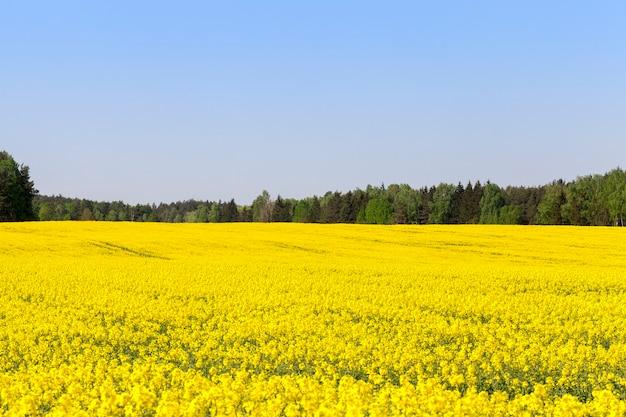 Żółte pole rzepaku wiosną, las na horyzoncie