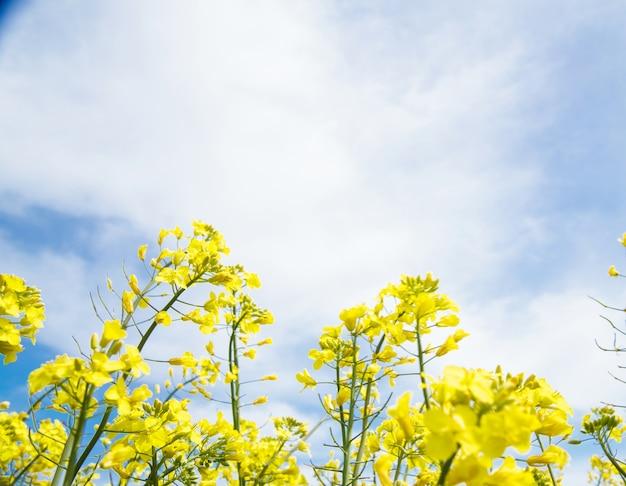 Żółte pole rzepaku.